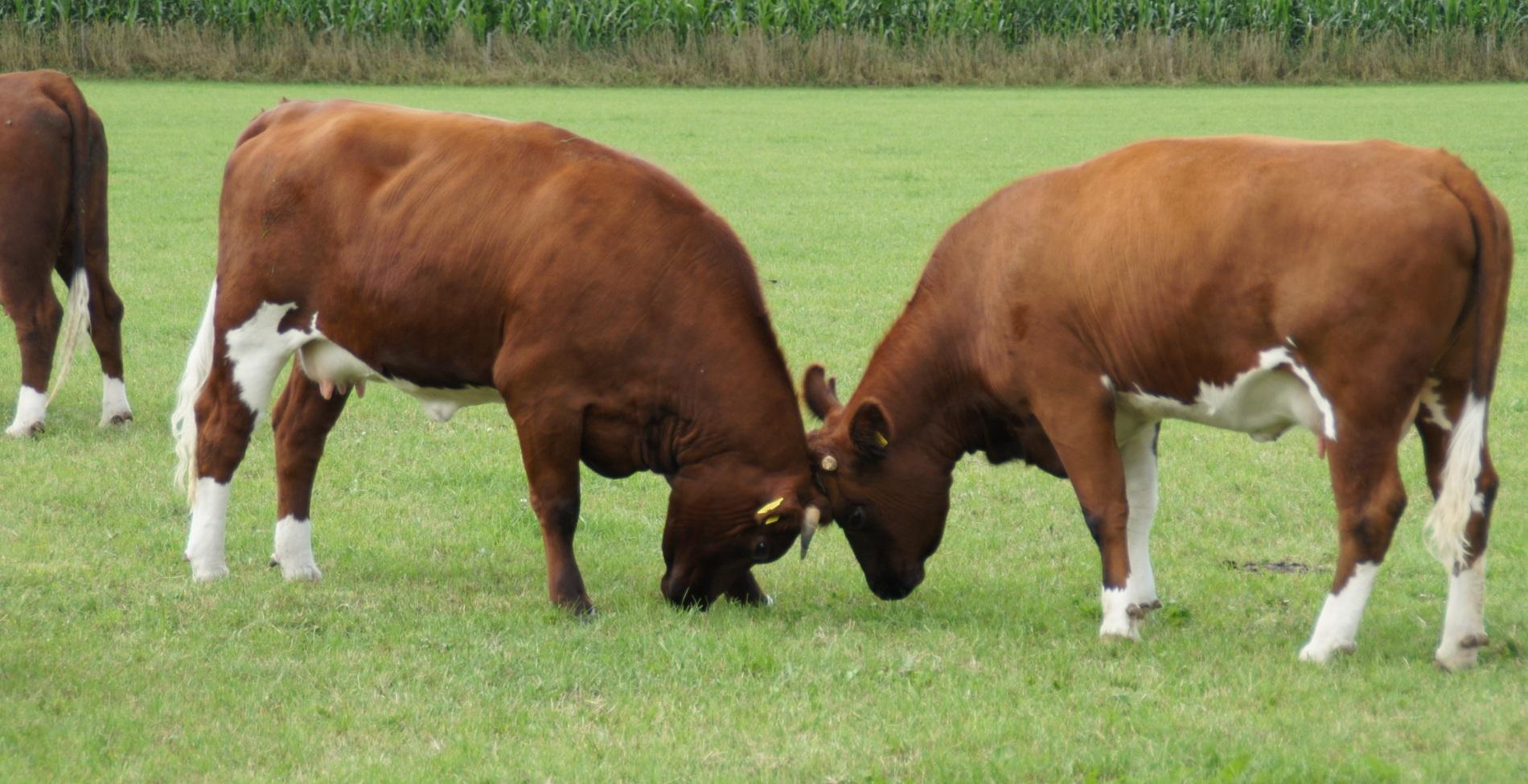 Twee koeien met de koppen tegen elkaar