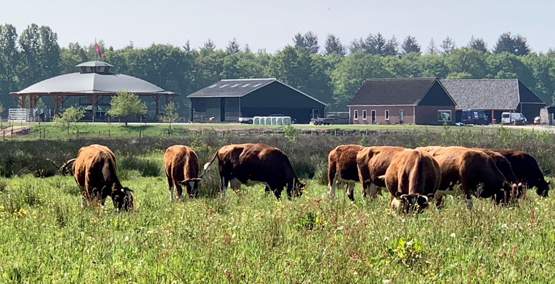 De kudde brandrode runderen van Erve Vechtdal